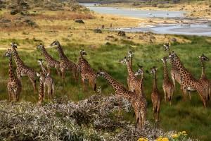 800px-Giraffes_Arusha_Tanzania