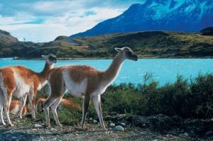 Lamas_Chille1