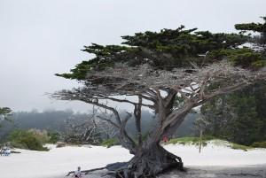 Tree_Carmel1