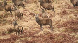 Deer-Herd1