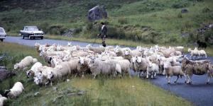 Scotland-Herd1