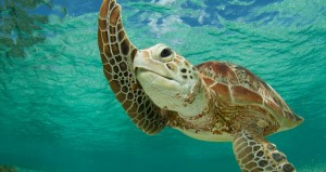 The-Green-Turtles-of-Bird-Island1