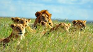 Lions-in-Tanzania1