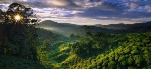 Cameron-Highlands1