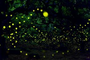 Kuala-Selangor-Firefly2