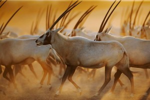 oryx-move-large1