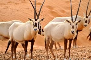 http://www.dreamstime.com/royalty-free-stock-image-arabian-oryx-desert-image30151606
