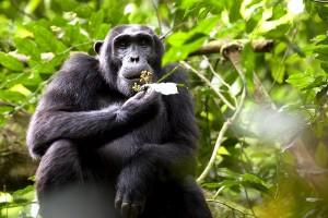 Kibale-Chimp1
