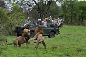 Lionsfight1