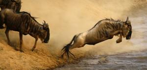 Wildebeest-migration1