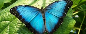Blue-morpho-butterfly1