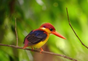 Borneo-Black-backed-Kingfisher1