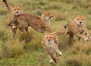 Hunting-Cheetahs1