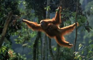 Sumatran orang utan, Indonesia