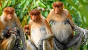 Proboscis-mothers-and-babies11