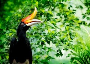 great-hornbill2