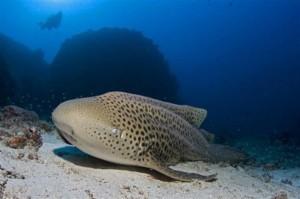 Leopard-shark2