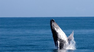 Majestic-Whales-Dominican-Republic1