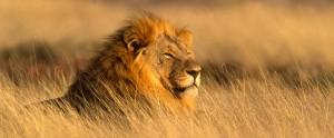 African-Safari-Lion1
