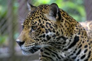 cheetah-peru.12001