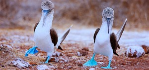 Blue-footed-booby-Ballestas-Islands-Peru1