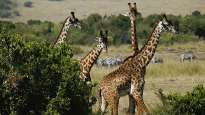 Masai or Kenyan Giraffes, Masai Mara Game Reseve, Kenya