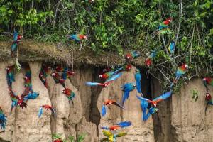 Amazonas-parrots2