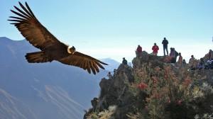 Andean-Condor1