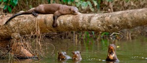 Giant-Otters1