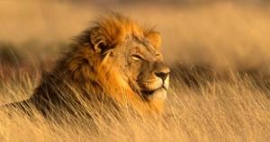 African-Safari-Lion-660x3481