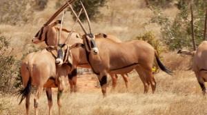 oryx-kenya1